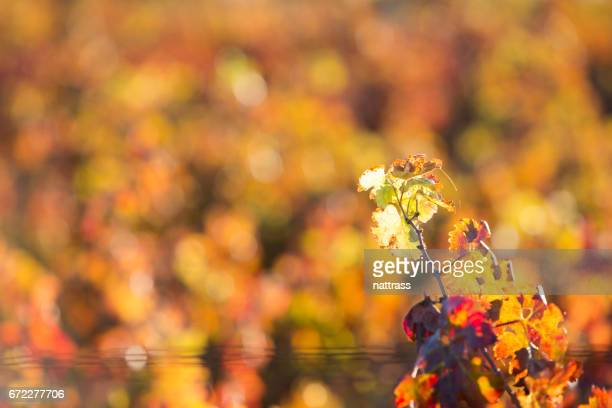 Colourful vineyards
