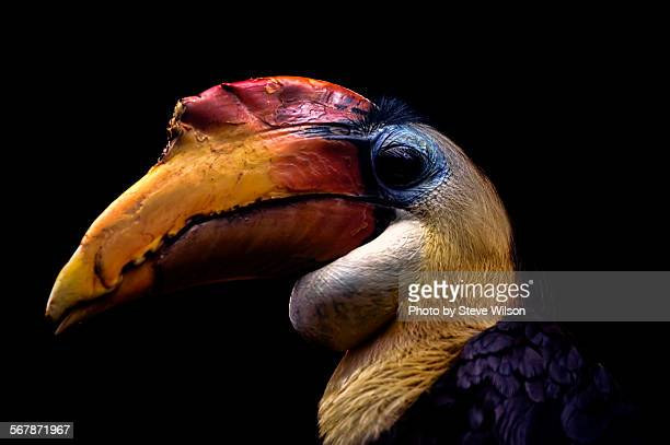 Colourful wrinkled hornbill on a black background