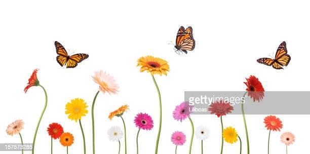 As margaridas Gerbera Colroful Primavera e monarca insectos isolado a branco
