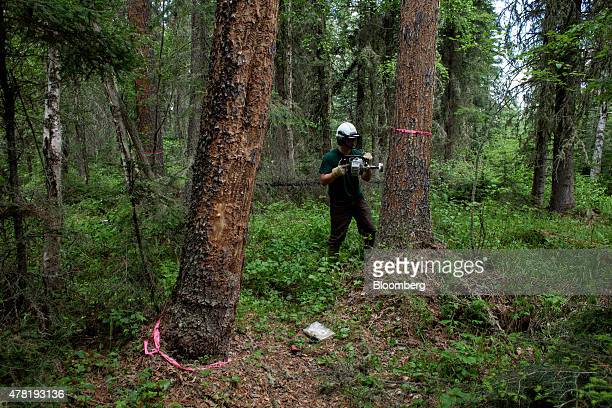 Colton Briggs forest health officer with Alberta Environment and Parks uses a specialized saw to take samples from pine trees affected by the...