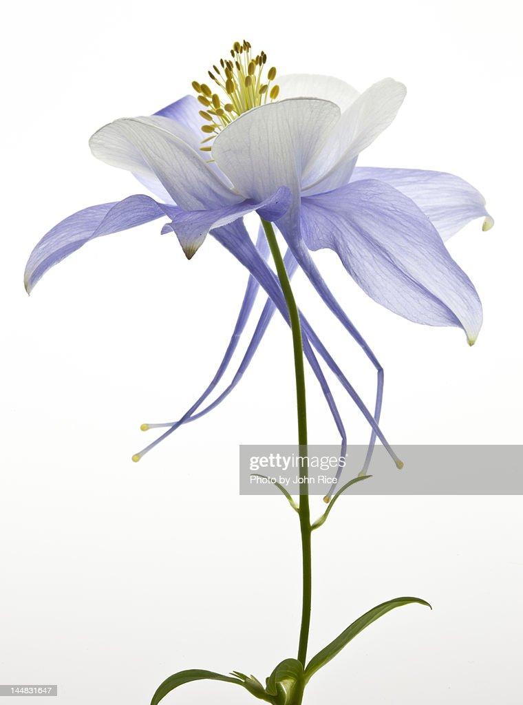 Columbine flower : Stock Photo