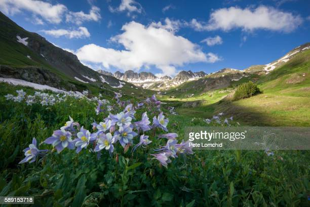 columbine flowers and american peak