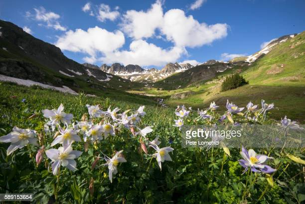 columbine flowers and mountain