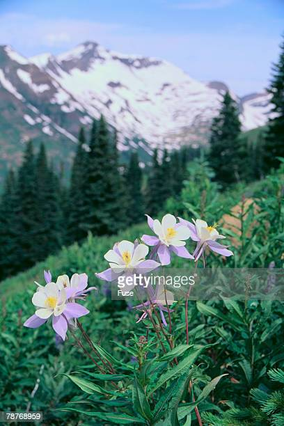 columbine flower stock photos and pictures  getty images, Beautiful flower