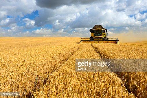 Combine Harvester in Barley Field during Harvest