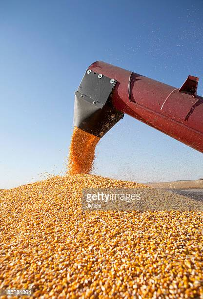 Combine harvester transferring corn to grain trailer outside