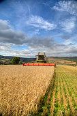 Combine harvesting barley