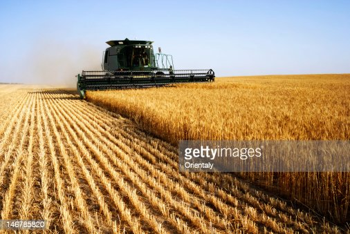 Combine harvesting in a field of golden wheat : Stock Photo