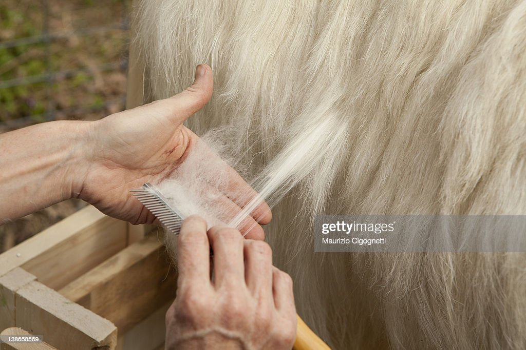 Combing cashmere goat,  free PC RF : Stock Photo