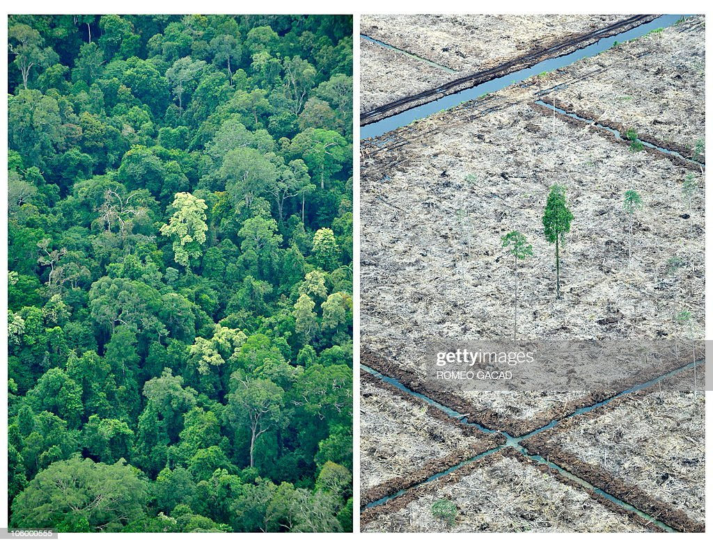 Combo of photos taken on October 16, 2010 during an aerial survey mission by Greenpeace over Sumatra island shows an area of rainforest of the Sungai Sembilang National Park (L) while nearby, at the edge of the protected area, a lone tree (R) isolated after the peatland forest was cut and cleared in a huge paper and pulpwood concession area located in South Sumatra province. According to the global environmental campaign group, massive concessions of paper and pulpwood companies are operating in the Island's last remaining peatland forest and the habitat of the endangered Sumatran tiger. The destruction of rainforests and peatlands is the major reason Indonesia is considered the world's third largest emitter of greenhouse gases, blamed for global warming.