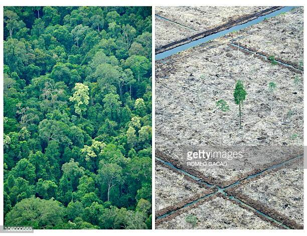 Combo of photos taken on October 16 2010 during an aerial survey mission by Greenpeace over Sumatra island shows an area of rainforest of the Sungai...