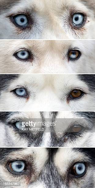 Combo shows pairs of eyes of different huskies prior to the first sledge dog race of the season on November 3 2012 in Grossbeeren eastern Germany AFP...