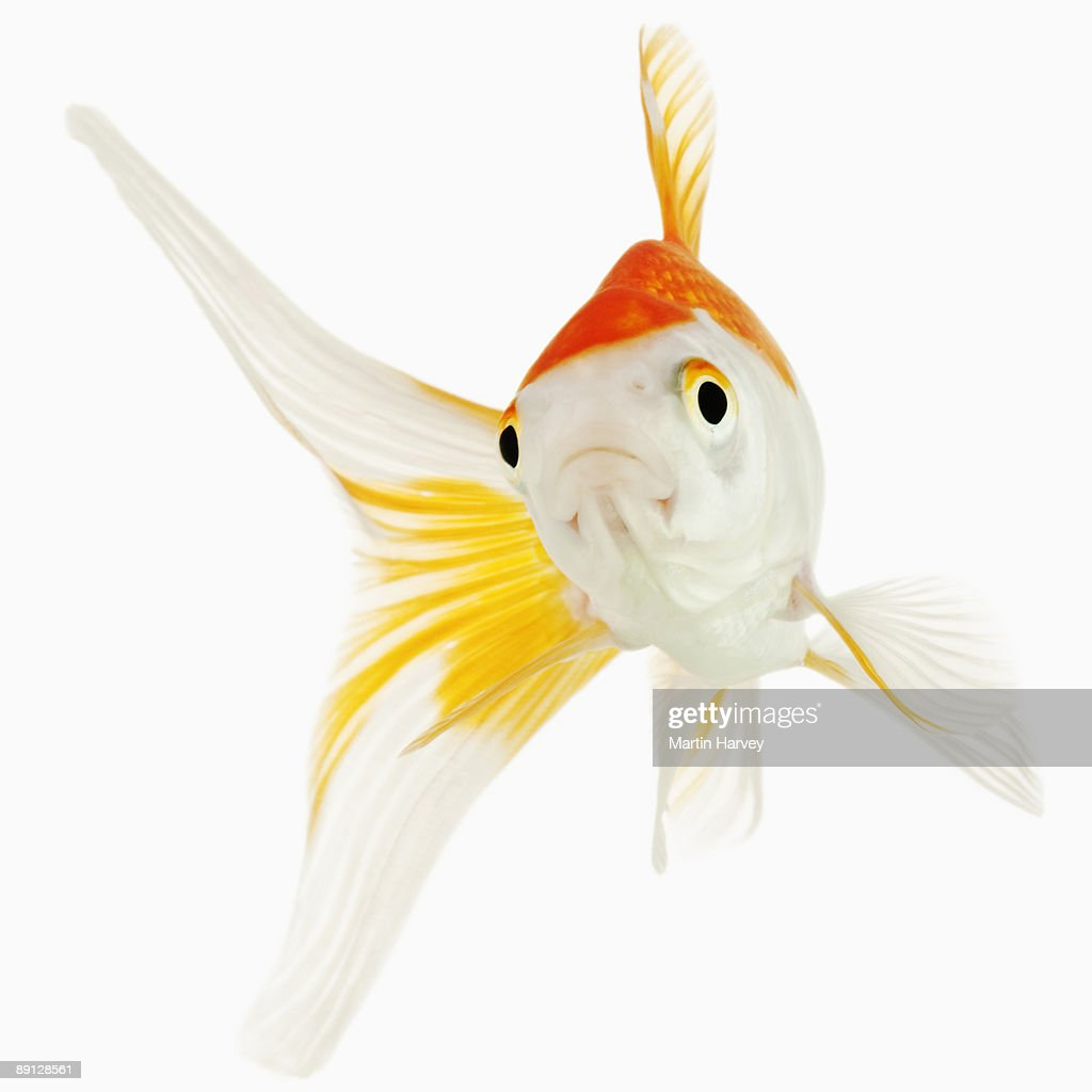 Comet / Comet-tailed goldfish : Stock Photo