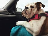 Very demanding passenger does not seem fully satisfied of the ride. Puppy, female, English Bulldog