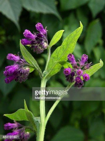 Consuelda herb en flor : Foto de stock