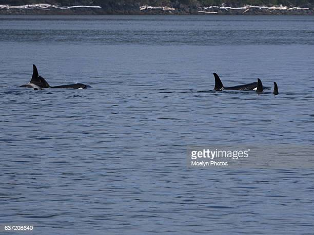 Coming up for Air-Resident Orcas-British Columbia