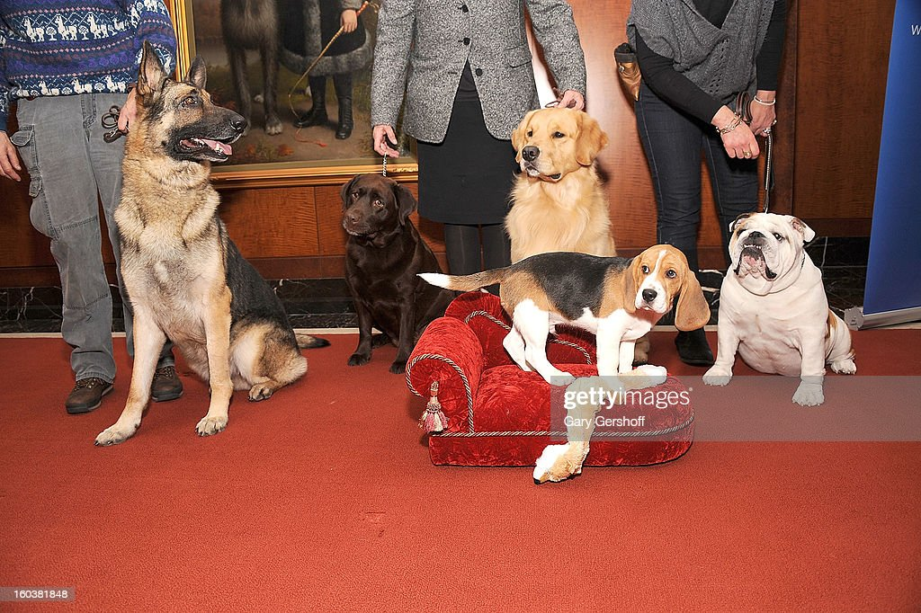 Commander, a German Shepherd, Shayna, a Labrador Retriever, Major, a Golden Retriever, Max, a Beagle and Munch, a Bulldog pose for pictures as the American Kennel Club Announces Most Popular Dogs in the U.S. on January 30, 2013 in New York City.