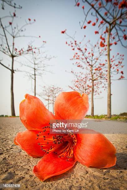 2012/03/26 Commen Bomhax Flower , Tainan
