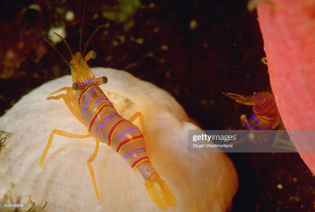 Commensal Shrimp on Crimson Anemone
