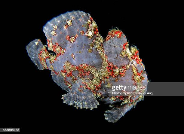 Commerson frogfish