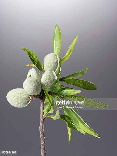 Common almonds on tree (Prunus dulcis)