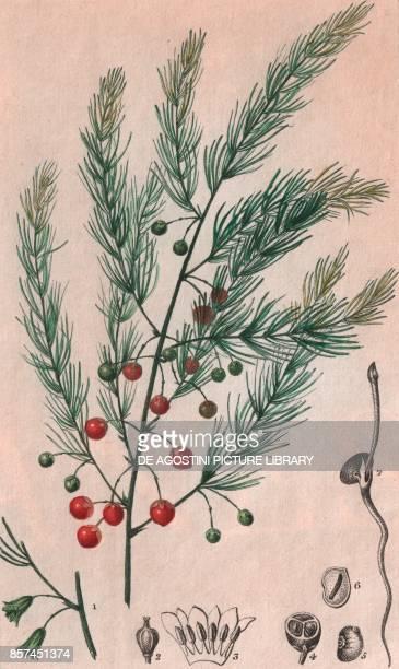 Common asparagus colour copper engraving retouched in watercolour 9x15 cm from Dizionario delle scienze naturali compilato da vari professori del...