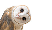 common barn owl ( Tyto albahead ) head isolated on white background