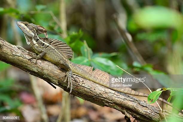 Common Basilisk -Basiliscus basiliscus-, male, perched on branch, Manuel Antonio National Park, Costa Rica, Central America