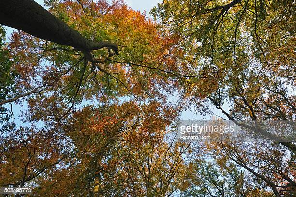 Common beeches -Fagus sylvatica- in autumn, Lower Rhine region, North Rhine-Westphalia, Germany