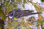 Wildlife of Colorado. Yellow-rumped Warbler Perched in an Evergreen Shrub  in the Snow.