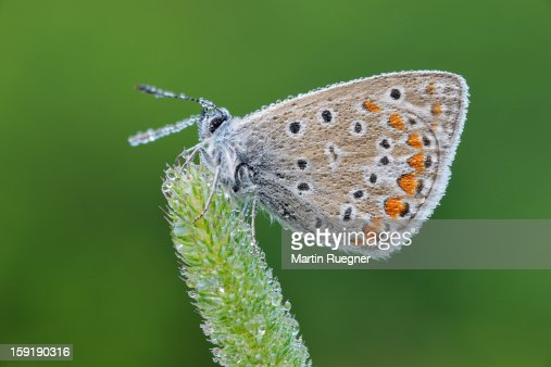 Common Blue (Polyommatus icarus) butterfly. : Stock Photo