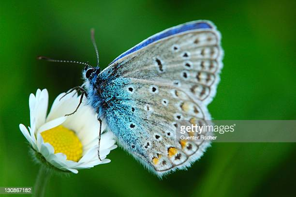 Common Blue Polyommatus icarus on an oxeye daisy