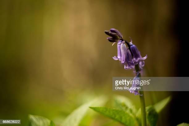 Common Bluebell flower