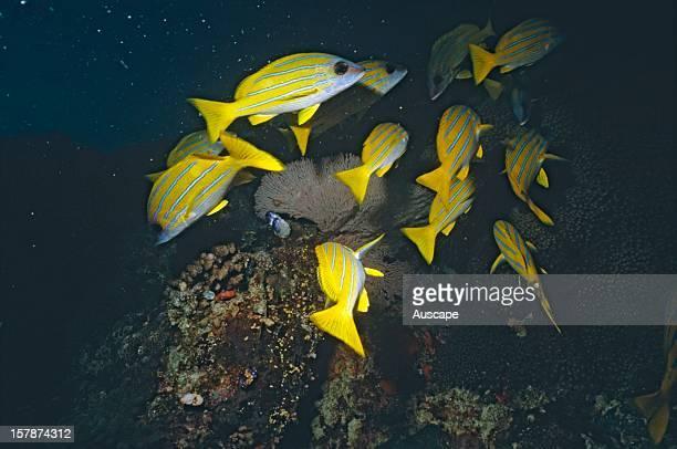 Common bluestripe snappers group Great Barrier Reef Queensland Australia