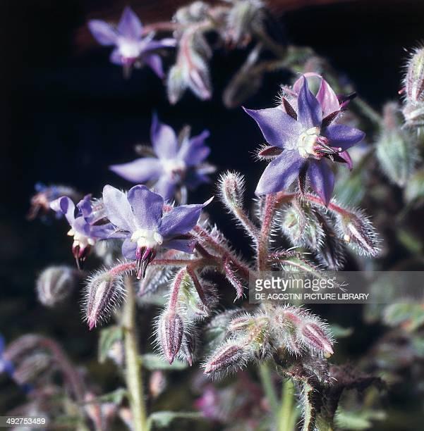 Common borage flowers Boraginaceae