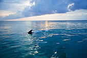 Common Bottlenose Dolphin (Tursiops truncatus) fin cutting through sea, Honduras