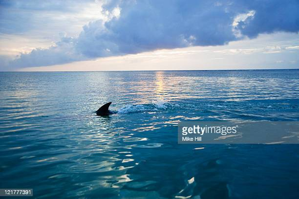 Common Bottlenose Dolphin (Tursiops truncatus) fin cutting through sea, Honduras