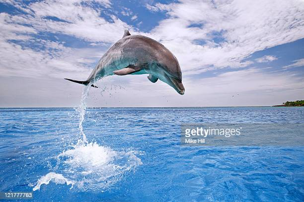 Common Bottlenose Dolphin (Tursiops truncatus) leaping at height out of water, Honduras