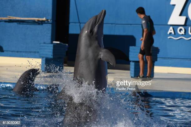 Common bottlenose dolphin pictured during a show at Madrid Zoo and Aquarium