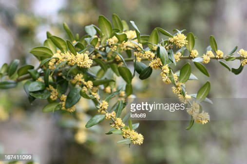 Common box, Buxus sempervirens : Stockfoto