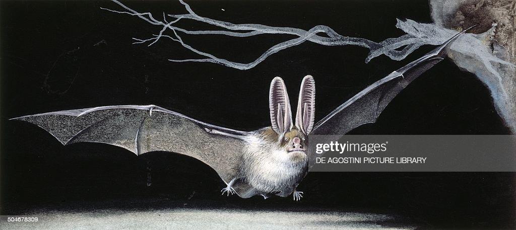 Common brown long-eared bat (Plecotus auritus), Chiroptera, drawing.