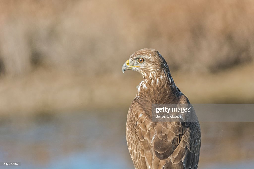 Common Buzzard (Buteo buteo) : Stockfoto