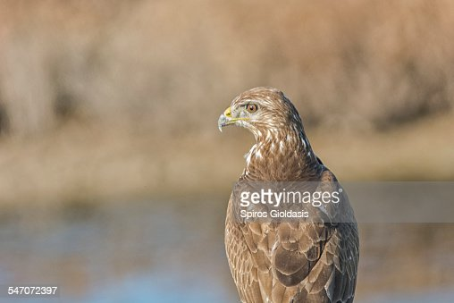 Common Buzzard (Buteo buteo) : Stock Photo