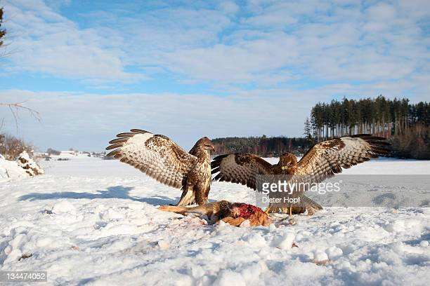 Common buzzards (Buteo buteo) in dispute over a brown hare, Allgaeu region, Bavaria, Germany, Europe