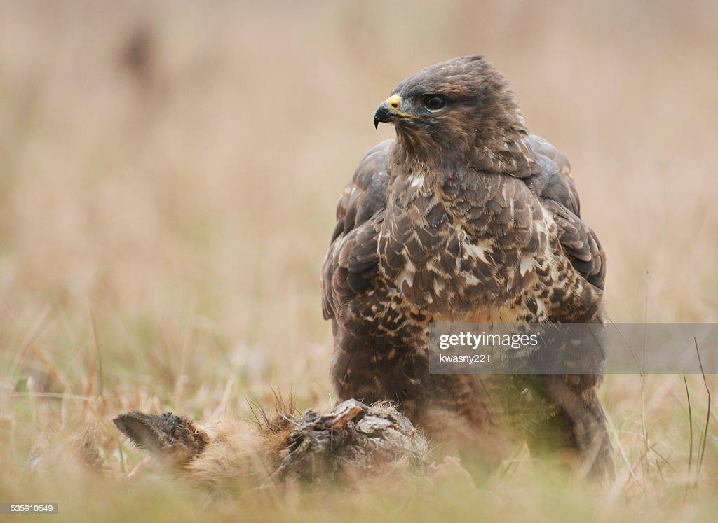 buzzards común : Foto de stock