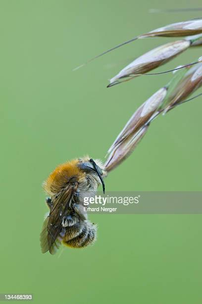 Common carder bee (Megabombus pascuorum)