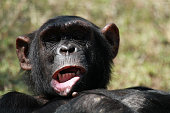Common chimpanzee, Ol Pejeta Conservancy, Kenya