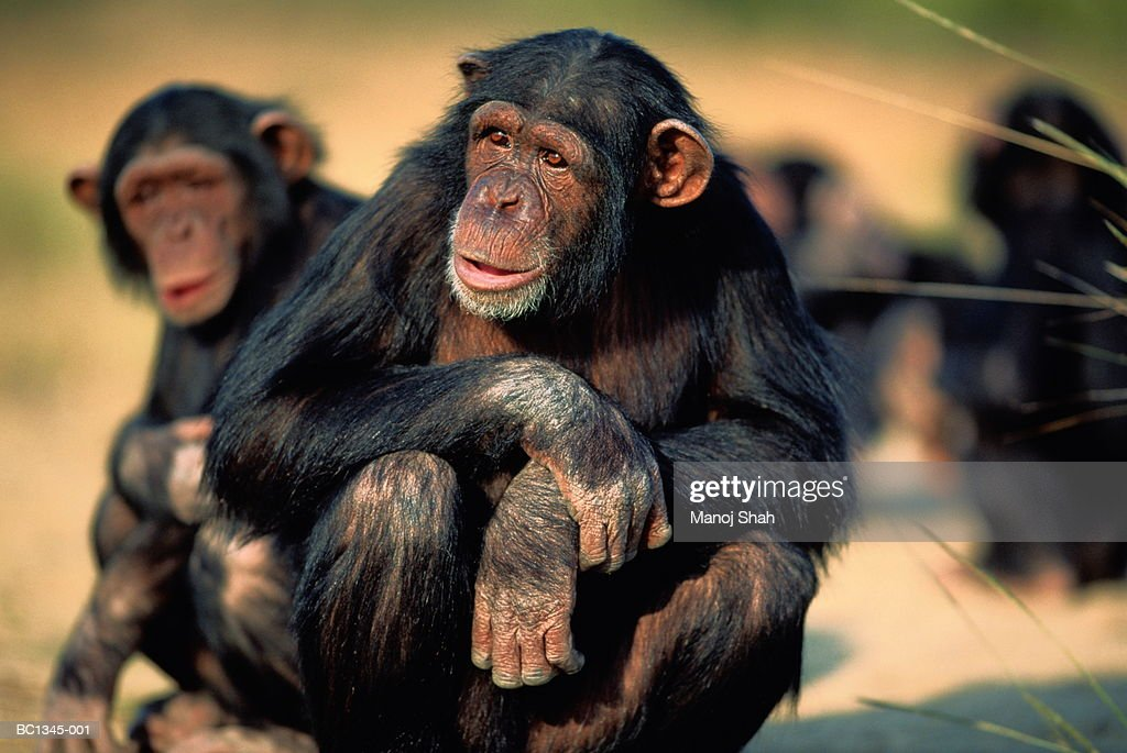 Common chimpanzee (Pan troglodyte) sitting in arid landscape : Stock Photo