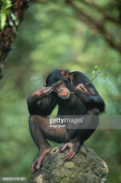 Common chimpanzee (Pan troglodytes) sitting on rock, Africa