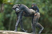 Common chimpanzee ( Pan troglodytes) with it's young, Africa